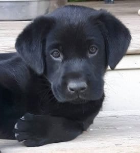 Labrador Retriever Puppy purebred registered